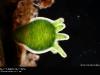 hydra-viridis2